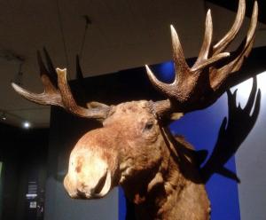 Elch im Ostpreussen Museum